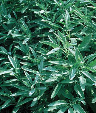 Sage Organic Organic Seeds Sage Plant Sage Seeds