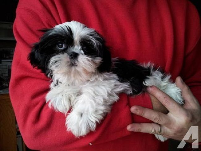 Shih Tzu Puppies For Sale Mn Zoe Fans Blog Cute Baby Animals