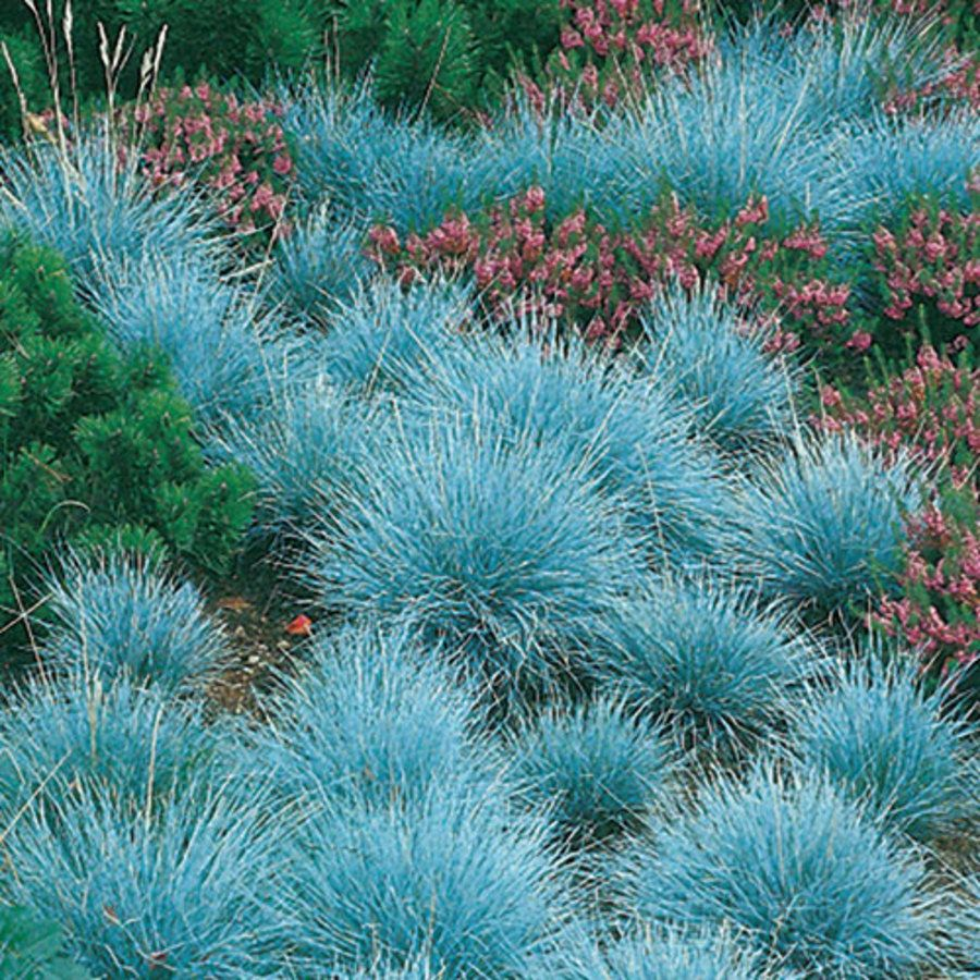 Elijah blue festuca excellent as a groundcover or accent for Ornamental grass with blue flowers