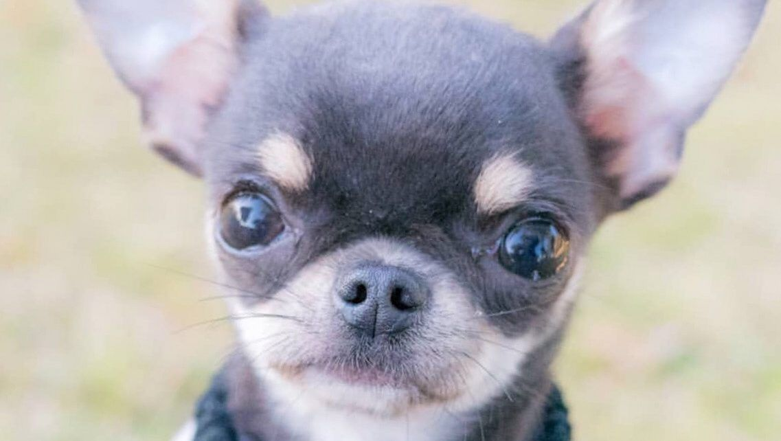 Blue Chihuahuas Information Chihuahua Dogs Blue Chihuahua