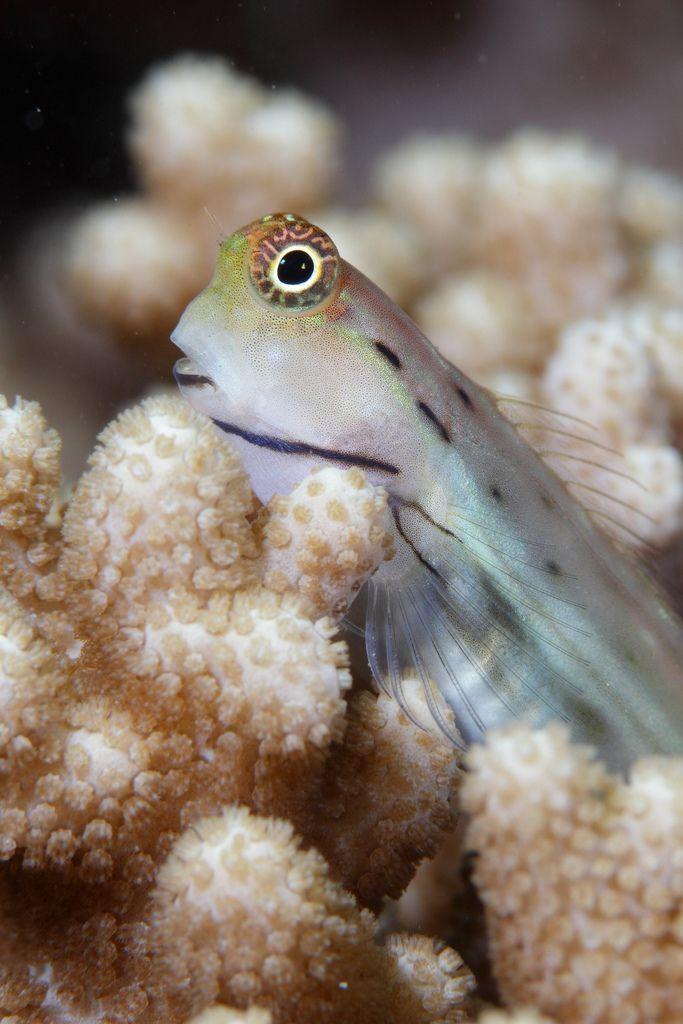 Yaeyama Blenny Saltwater tank, Sea world, Animals