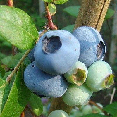 myrtille pr coce 39 ivanho 39 arbustes a petits fruits. Black Bedroom Furniture Sets. Home Design Ideas