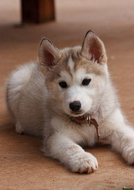 Chiot husky annimaux pinterest chiot chiot husky et chien - Image bebe chien ...