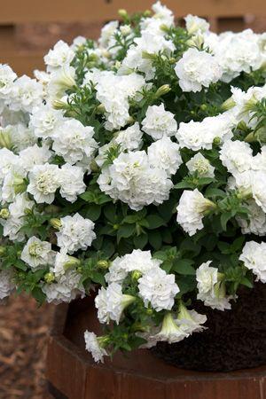 Surfinia Summer Double White Petunia Hybrid Petunia Plant
