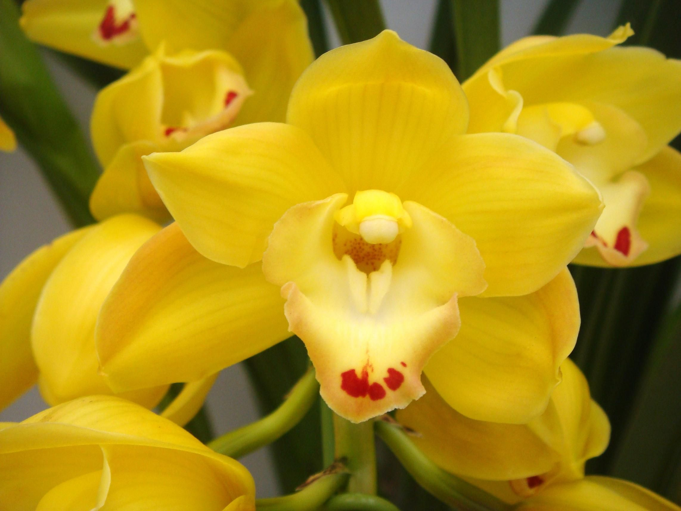 Rare Yellow Orchid Yellow Orchids Lovely My Fave Flowers