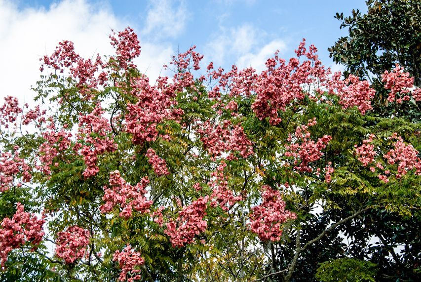 Q What Is The Name Of The Tree With The Salmon Colored Seed Pods It Is So Pretty I Just Love It Seed Pods Salmon Color Golden Rain Tree