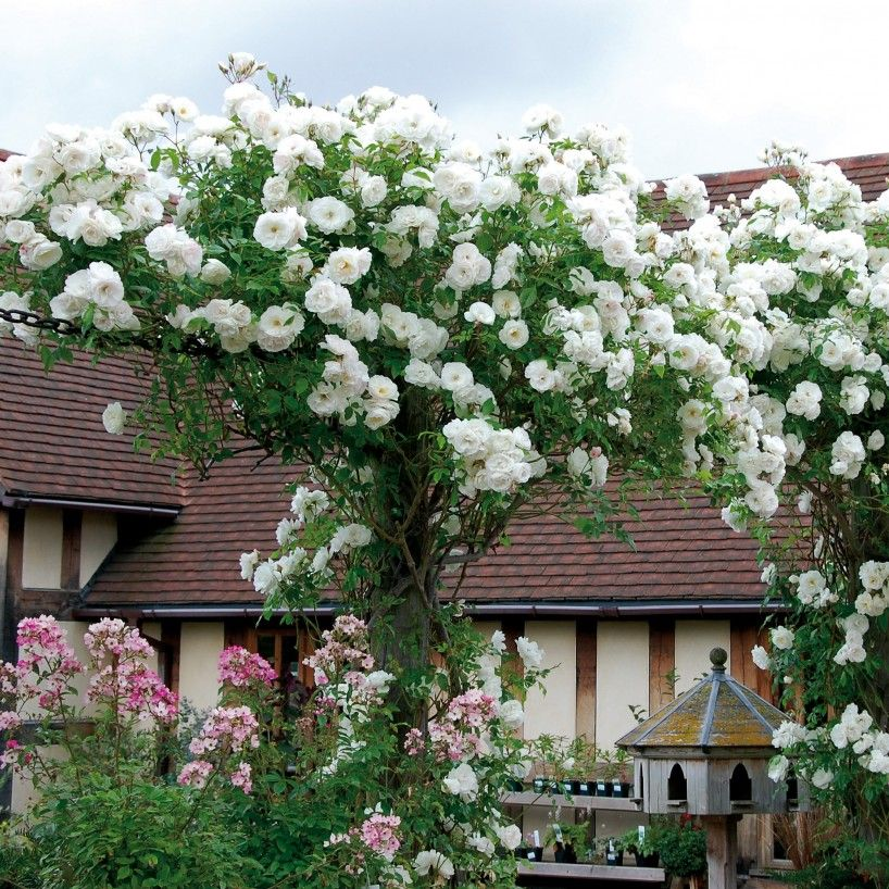 Climbing Iceberg Rose. Awesome, easy, fast growing, long blooming.