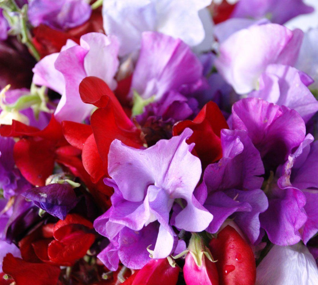 Amazon.com : Earthcare Seeds SWEET PEA ROYAL FAMILY Mix 100 Seed Lathyrus odoratus : Sweet Pea Plants : Patio, Lawn & Garden
