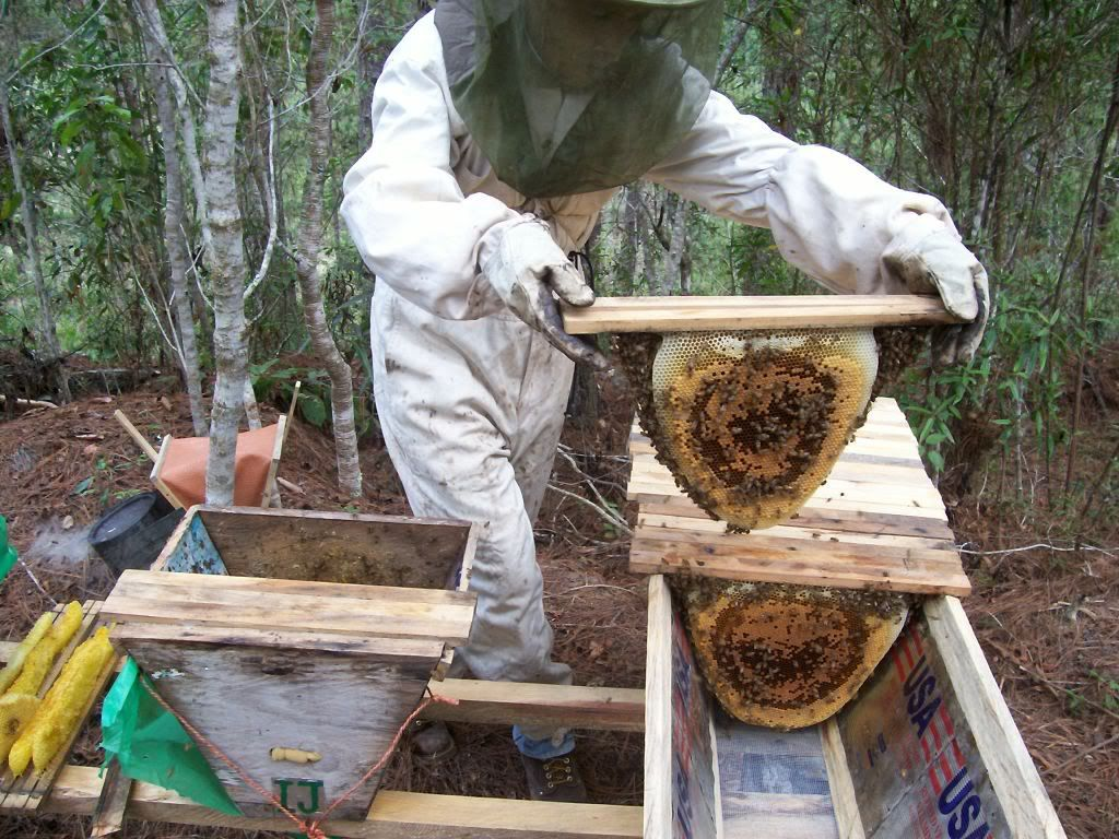 Transferring from swarm trap to full size top bar hive ...