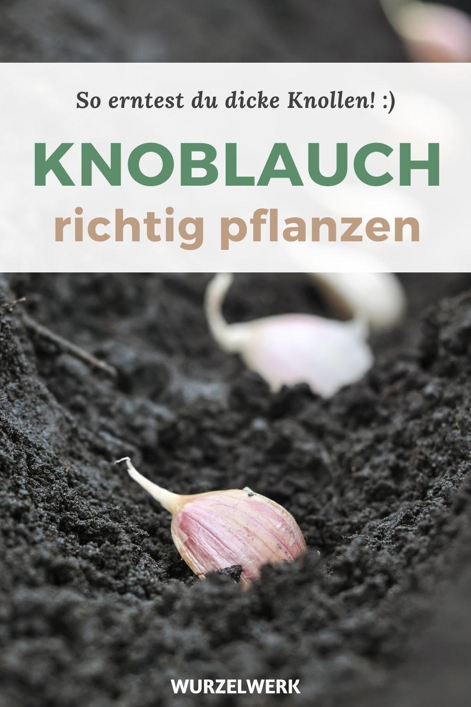 Knoblauch pflanzen: 8 Tipps für eine dicke Ernte! – Wurzelwerk