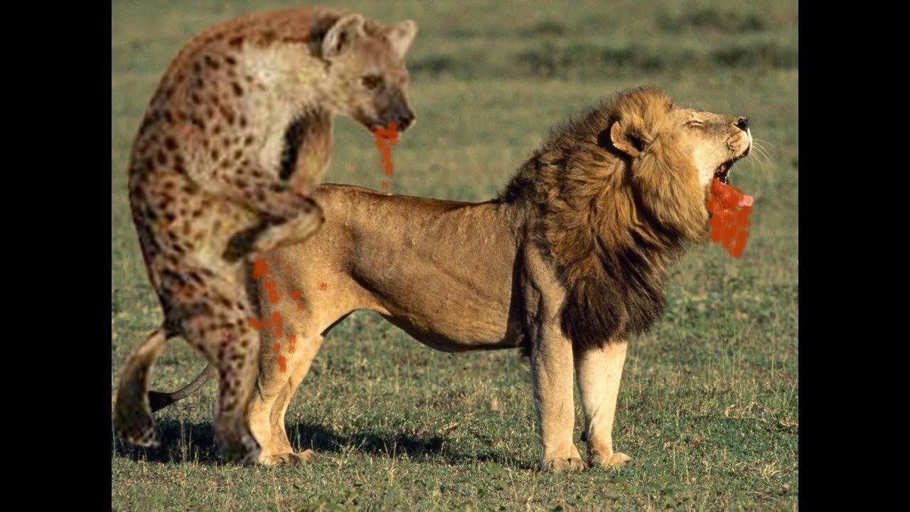 LIONS VS HYENAS Clash of Enemies Animal Hyena