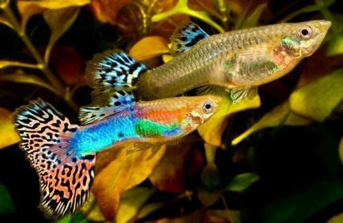 1 Assorted Pair Fancy Guppies Live Freshwater Aquarium Fish Guppy Fish Freshwater Aquarium Fish Aquarium Fish