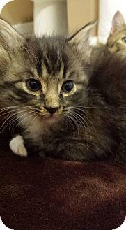 Shirley Adoptable Cat Kitten Female Domestic Short Hair Meriden Ct Cat Adoption Foster Cat Pet Adoption