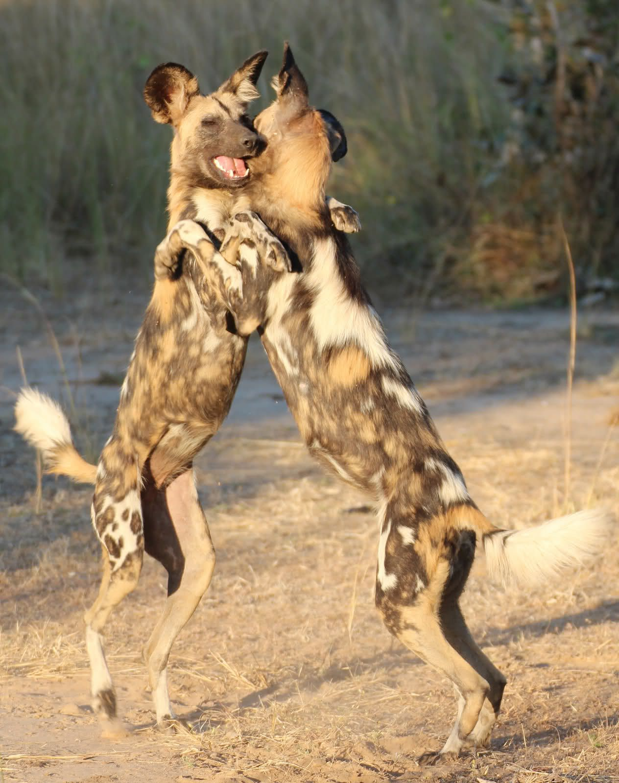 African Wild Dogs (Painted Wolves)