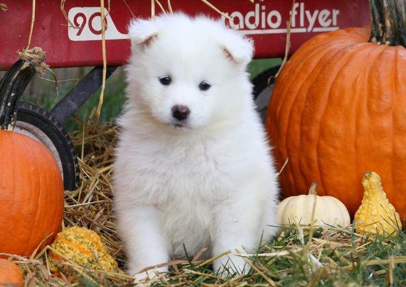Cami Samoyed Puppy Puppies Samoyed Puppies For Sale
