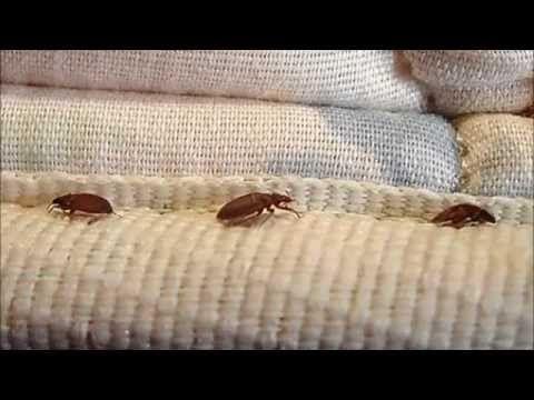 Como Acabar Con Las Termitas Remedios Caseros Para Matar Chinches De La Cama Con Pruductos