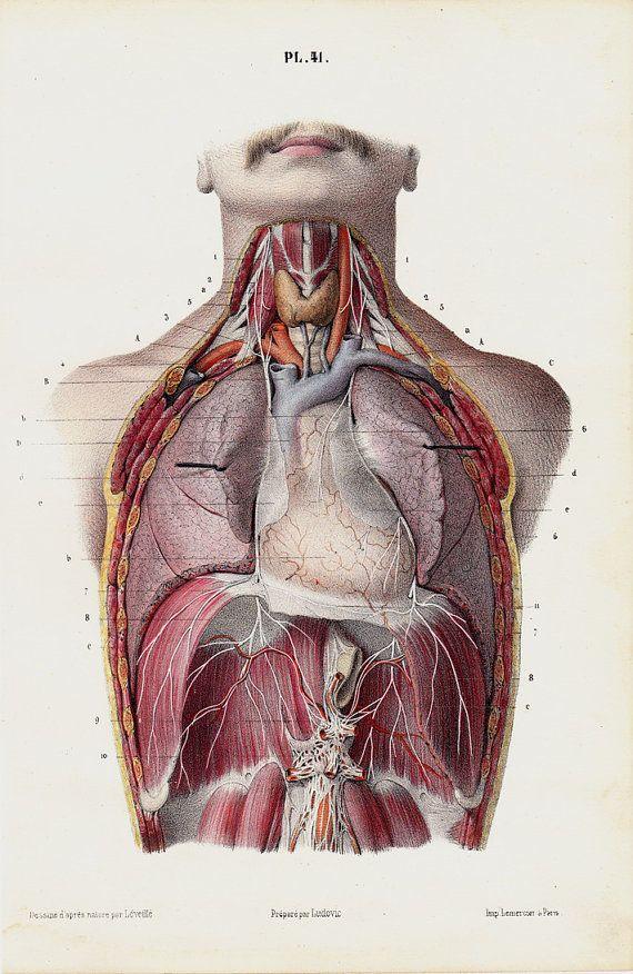 1853 Antique ANATOMY print, fine anatomy lithograph of ribcage ...