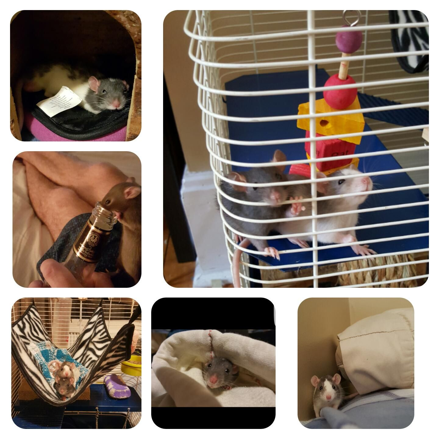 In honour of my boys first birthday here are my favorite photos from their first week in their new home #aww #cute #rat #cuterats #ratsofpinterest #cuddle #fluffy #animals #pets #bestfriend #ittssofluffy #boopthesnoot