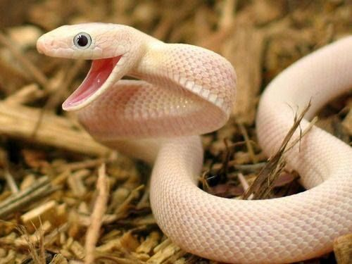 Leucistic Texas Ratsnake   Creatures Great and Small