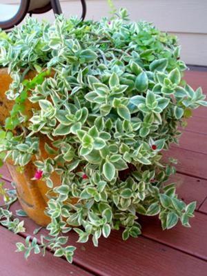 aptenia cordifolia 39 variegata 39 gardening plants succulents garden succulent gardening. Black Bedroom Furniture Sets. Home Design Ideas