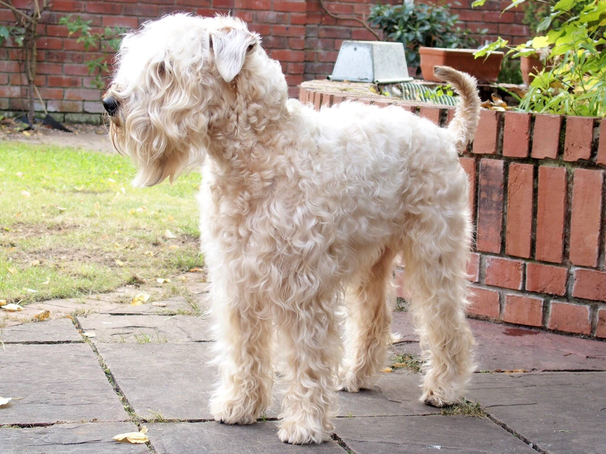 Not Sure About Curly Here Soft Coated Wheaten Terrier Irish Terrier Companion Dog