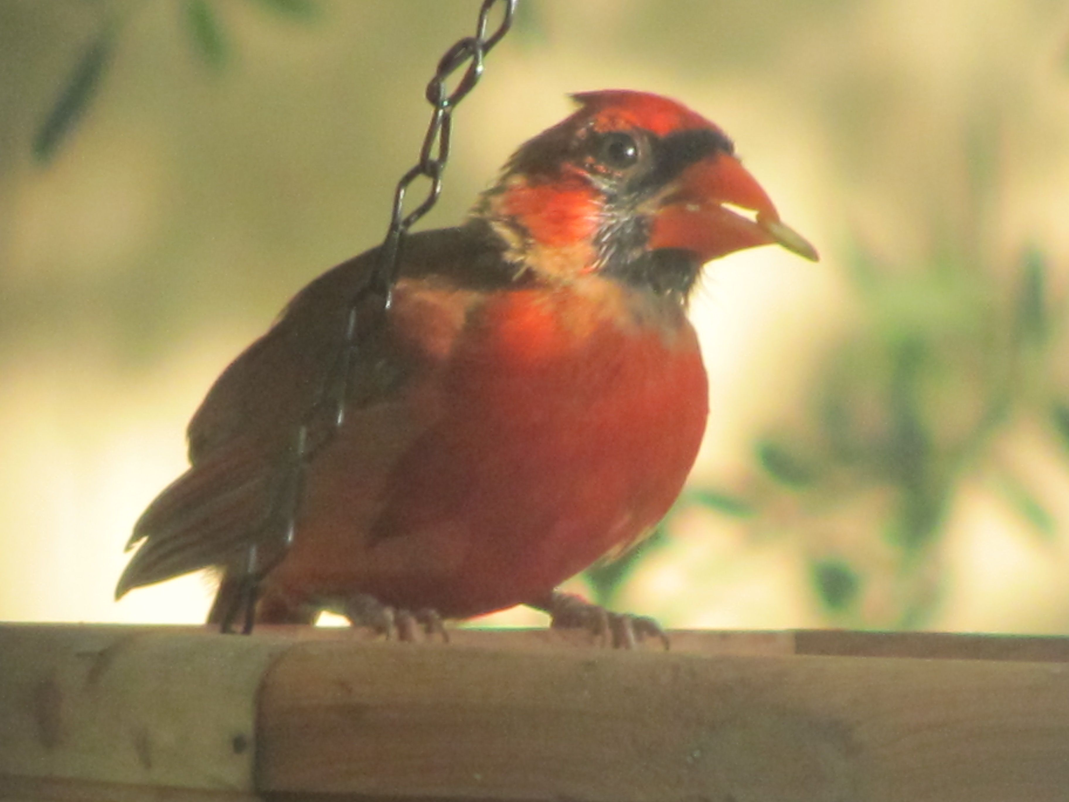 Young Male Cardinal At My Feeder Birds Animals Photo