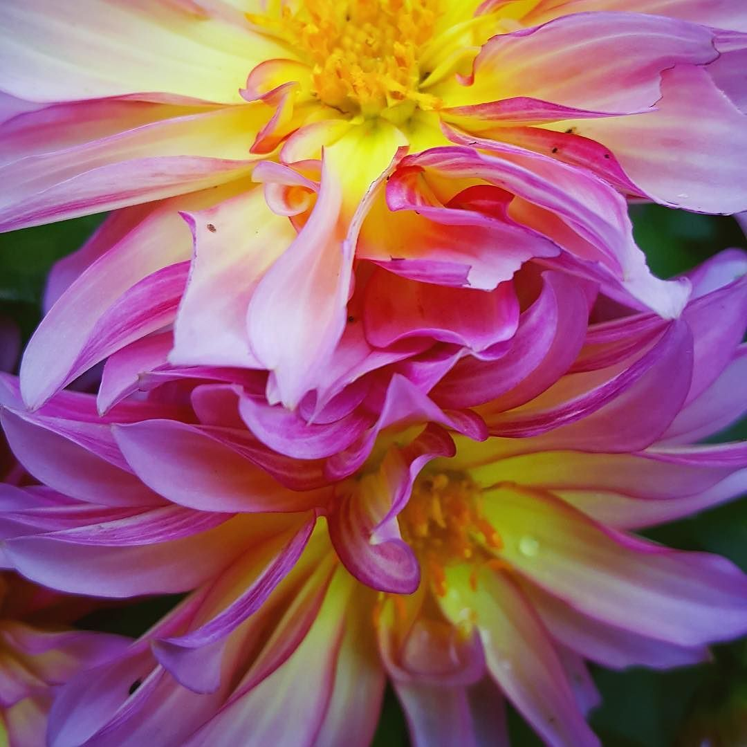 Lovely Hello August! Thrilled To See You Please Bring Us Some Rain. . Some Dahlia