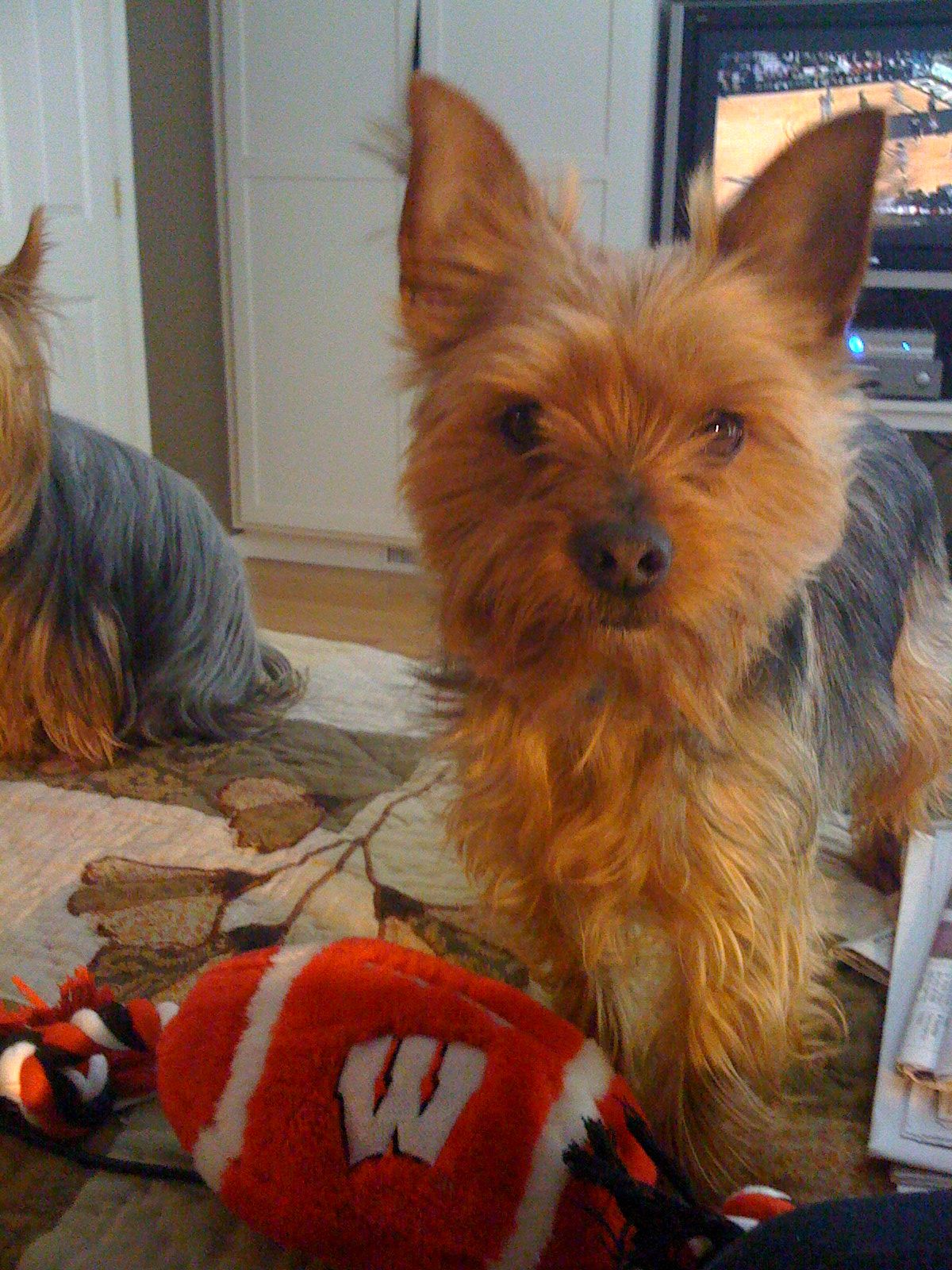 Mr Manhattan Aka Manny Is Our Second Yorkshire Terrier He Is Absolutely The Best Mannered Yorkie Ever At Age Five We Notic With Images Yorkshire Terrier Yorkie Animals