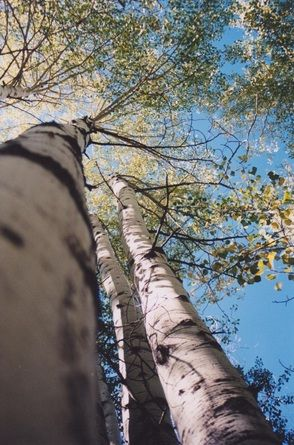 I took this photograph several years ago, when I was in Colorado. The quaking aspen are stunning in September.