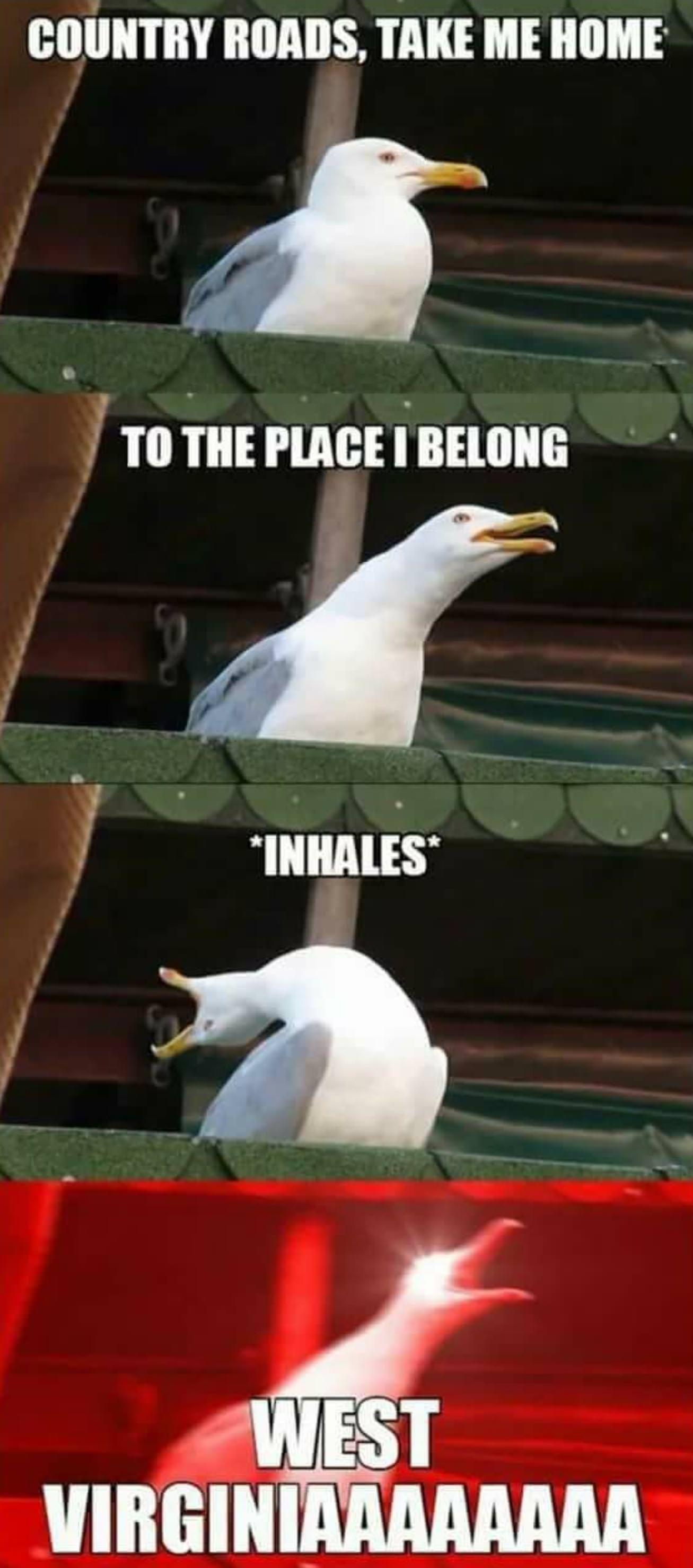Country Roads Meme Seagull