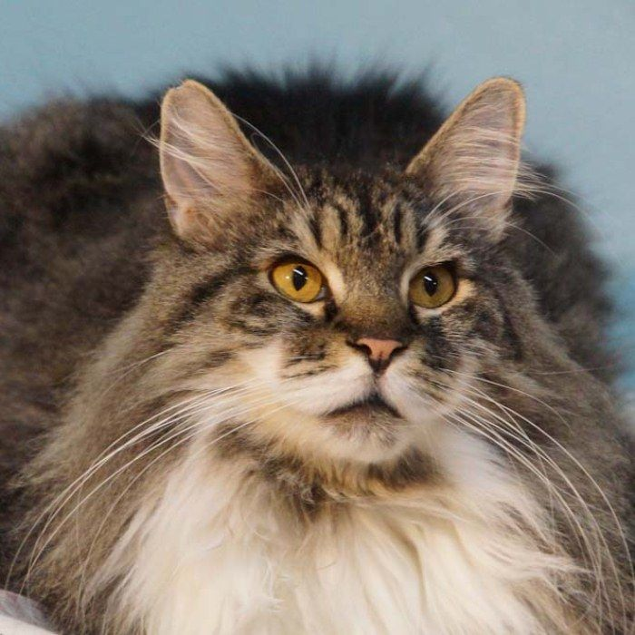 Binky - super handsome boy with lots and lots of gorgeous, fluffy fur. adopt@spaymart.org