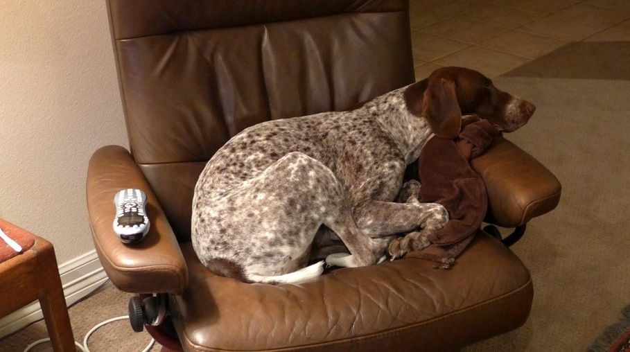 German Shorthaired Pointers 10 Fun Facts About These All Around Dogs Amor