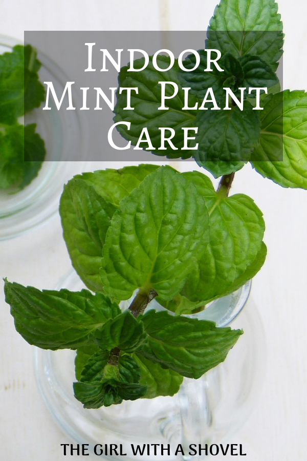 Indoor Mint Plant Care The Girl With A Shovel In 2020 Mint Plant Care Growing Mint Indoors Mint Plants