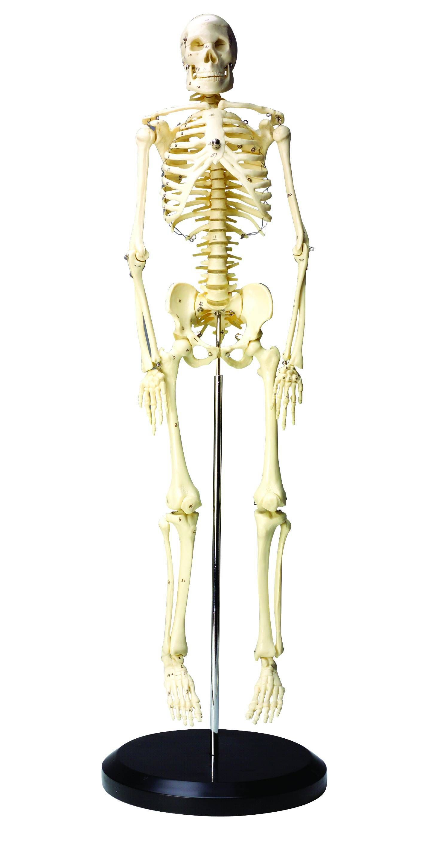 Educational Insights Numbered Parts Human Skeleton Model
