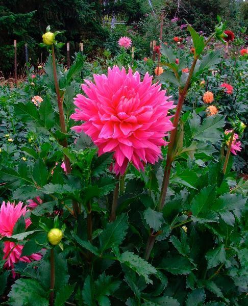 Hollyhill Big Pink Dahlia Google Search Pretty Flowers Dahlia Flowers