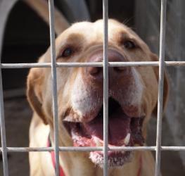 Adopt Jimmy D On Yellow Labrador Retriever Labrador Retriever