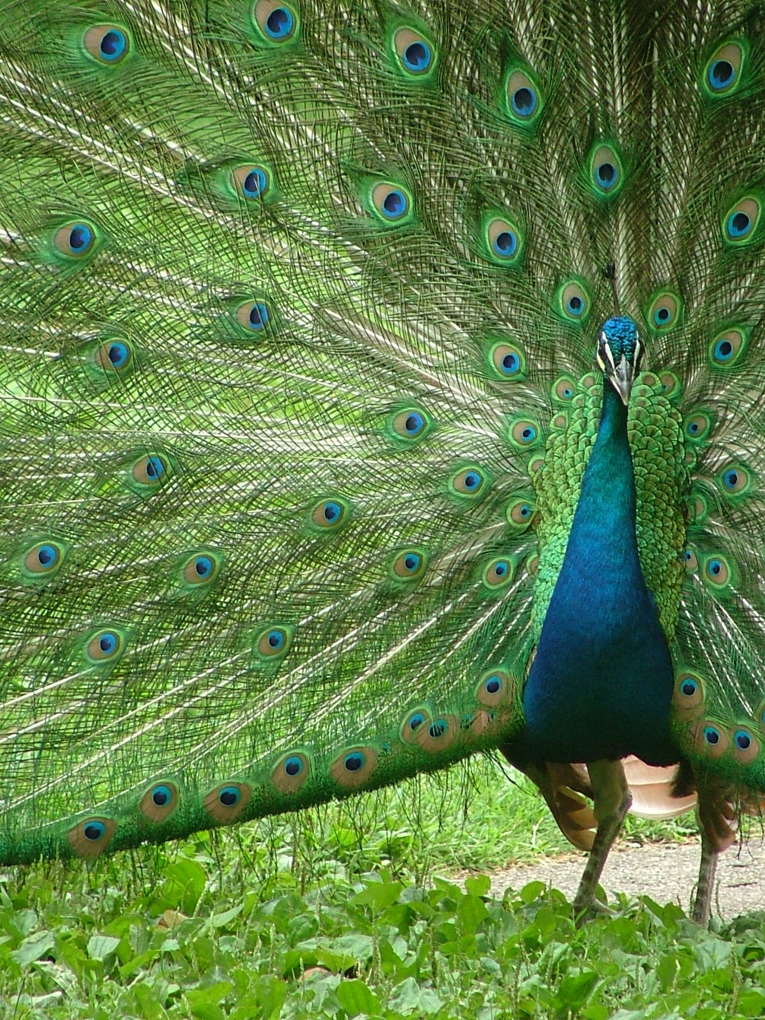 Bestandpeacock with outspread plumesg wikipedia peacocks bestandpeacock with outspread plumesg wikipedia mightylinksfo Image collections