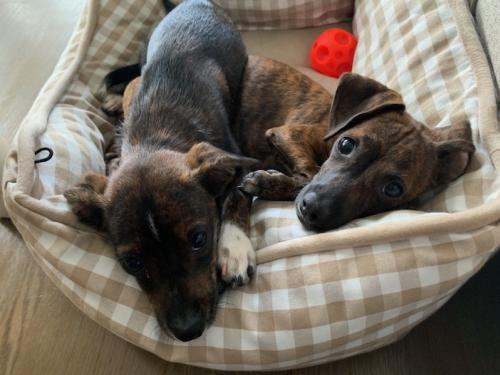 Adopt Anna Bama F M On Chihuahua Help Homeless Pets Dog Adoption