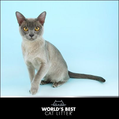 Burmese Cat Breed Information