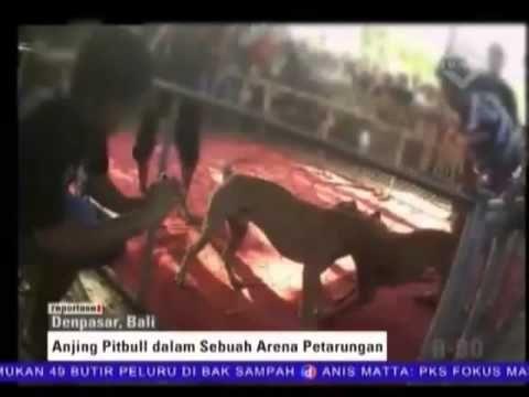 Adu Anjing Pitbull Digerebek Polisi Http Bali Traveller Com Adu Anjing Pitbull Digerebek Polisi Indonesia Travel Hotel Deals Cheap Hotel Deals