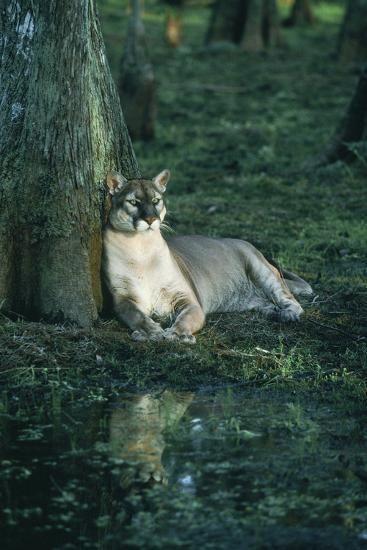 Florida Panther Photographic Print Florida panther