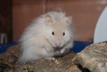 Silver Mink Lh Hamster Eeppsgsgu Ll Syrian Hamster Cute