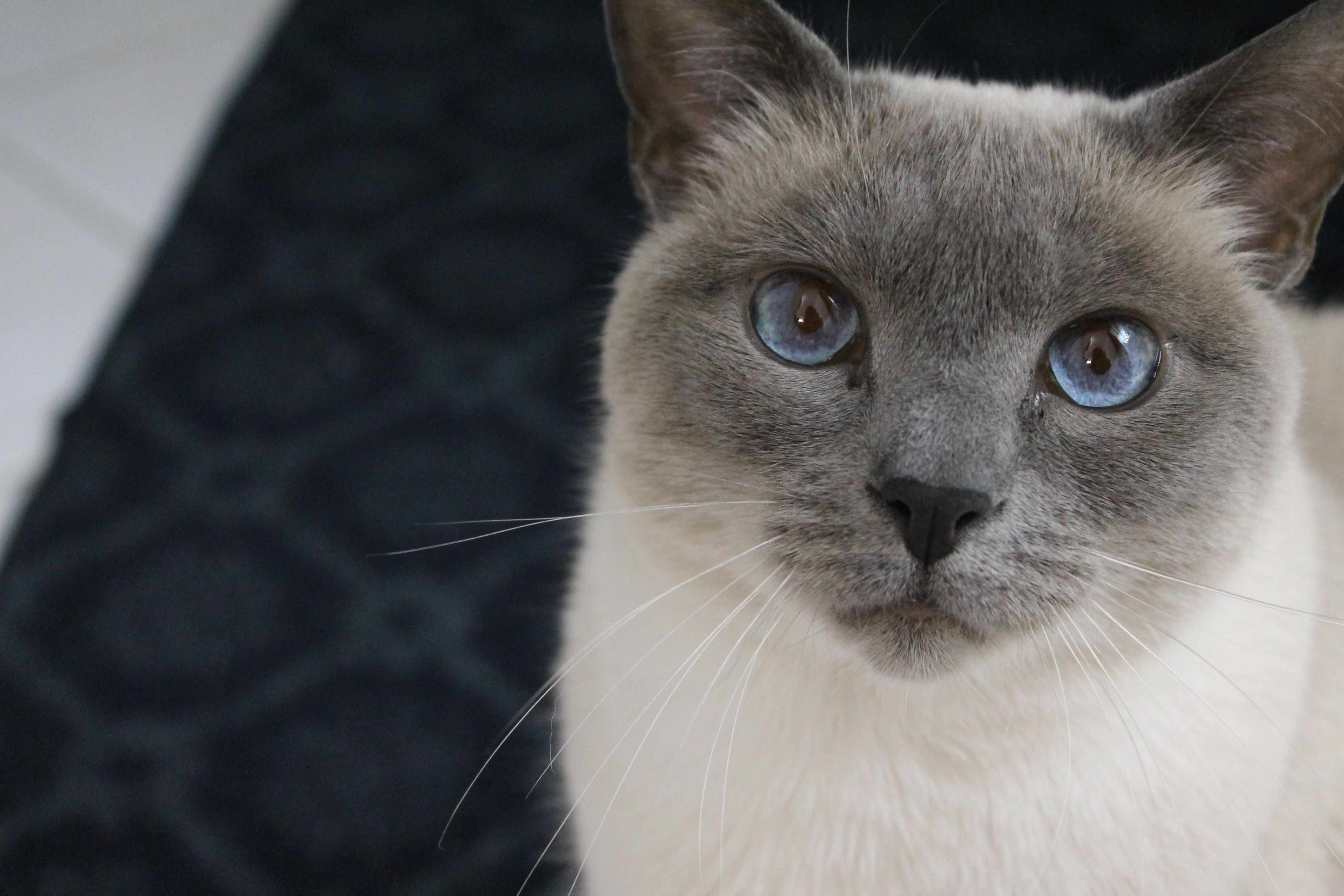 The name is Faeryn. (With images) Blue point siamese