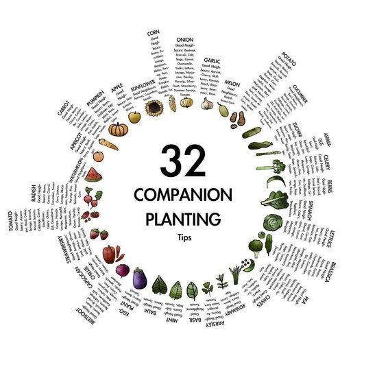 Companion Planting Chart By Jillejacob  Garden Inspiration