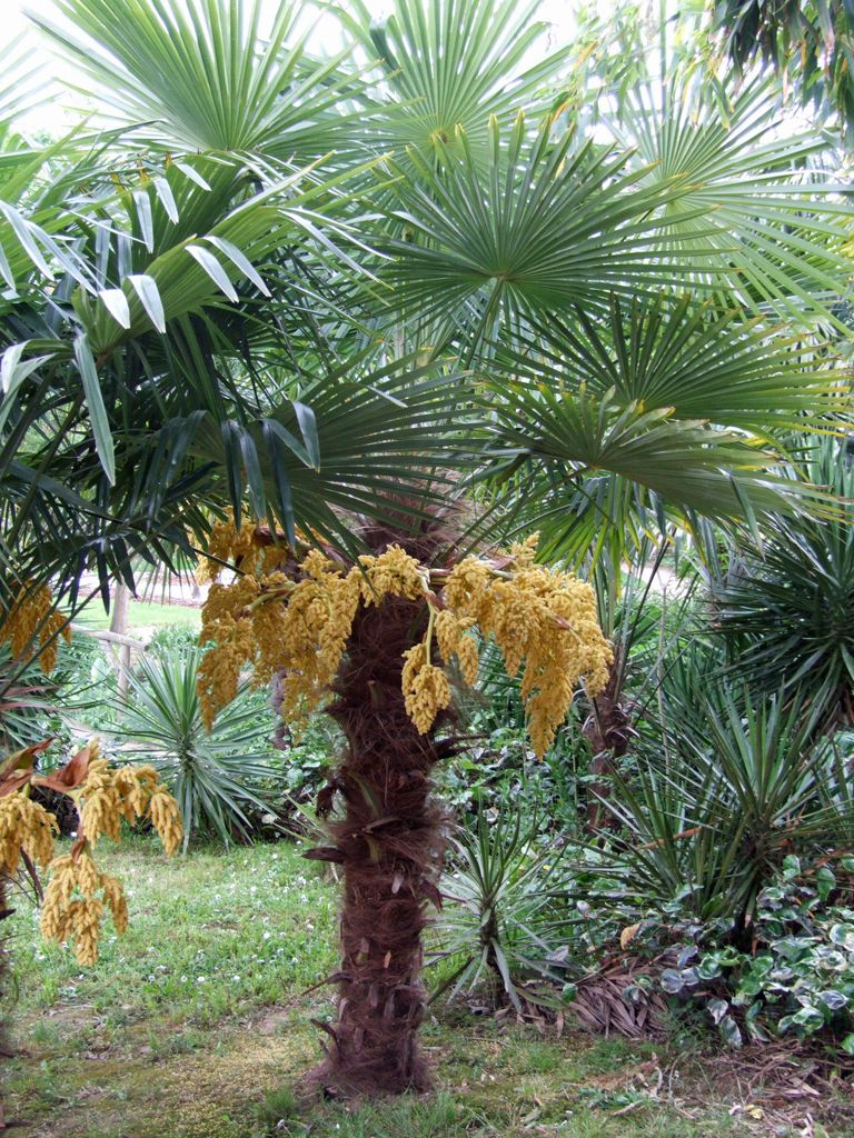 trachycarpus fortunei favo planten pinterest plants. Black Bedroom Furniture Sets. Home Design Ideas
