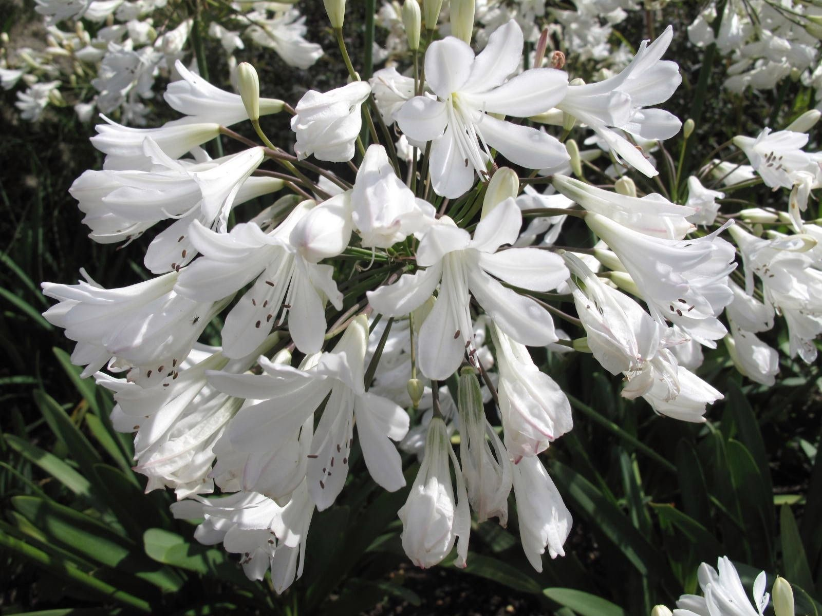 Agapanthus Arctic Star A Lovely Hardy White With Big Flower Heads