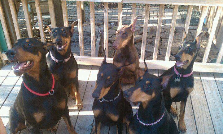 The Doberman Gang!   Doberman, Doberman love, Doberman ...