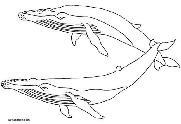 Humpback Whale Coloring Pages Whale Coloring Pages Whale