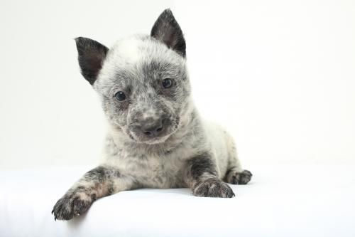 Meet Clementine D150656 A Petfinder Adoptable Australian Cattle Dog Blue Heeler Dog Minneto Blue Heeler Dogs Australian Cattle Dog Blue Heeler Cattle Dog