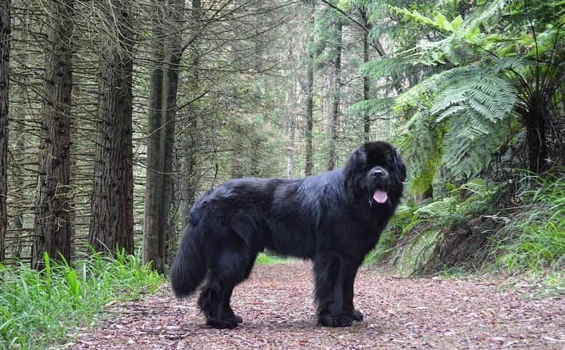 Breed Dog Dog Art Dog Breeds Dog Cutest Dog Funny Dog Training Facts Guide Hunde Hunde Dog Breeds That Dont Shed Dog Breeds Medium Newfoundland Dog